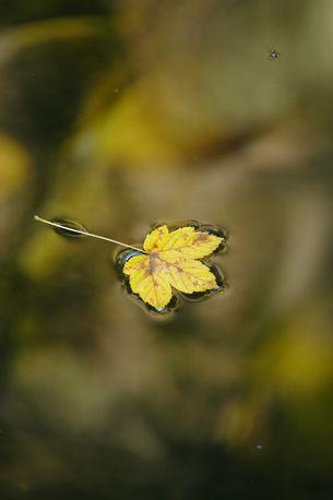 Herbstblatt auf dem Wasser