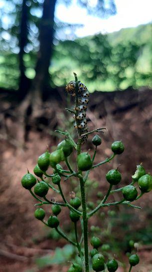 Raupe auf Pflanze