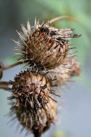Vertrockneter Fruchtstand mit Spinnweben