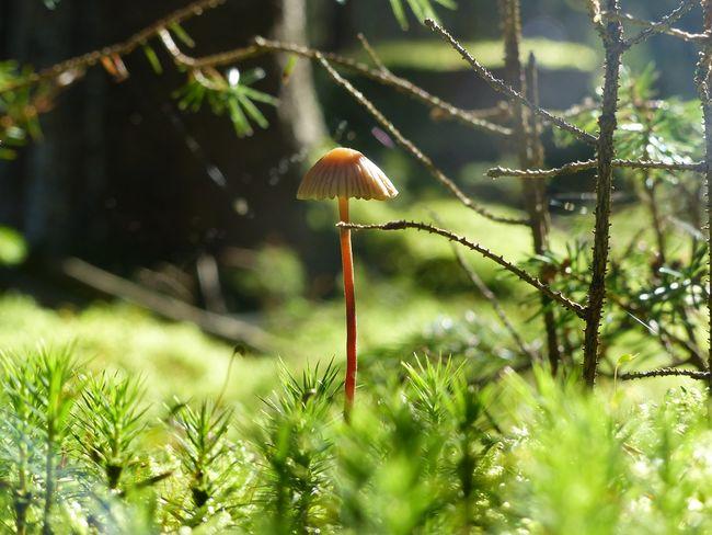 Pilz im Moos im Herbstwald