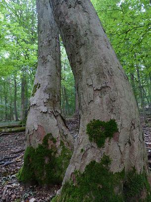 Baumstämme im Weberstedter Holz