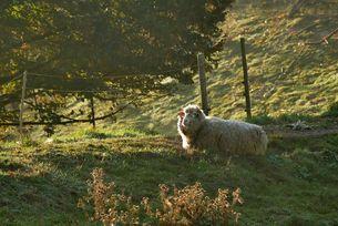 Schaf auf Novemberweide
