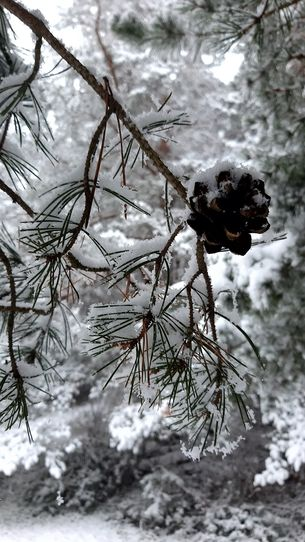 Schneebedeckter Zapfen