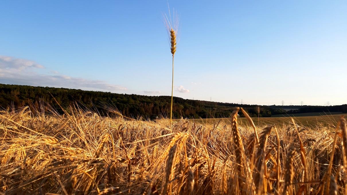 Getreidefeld im Abendlicht
